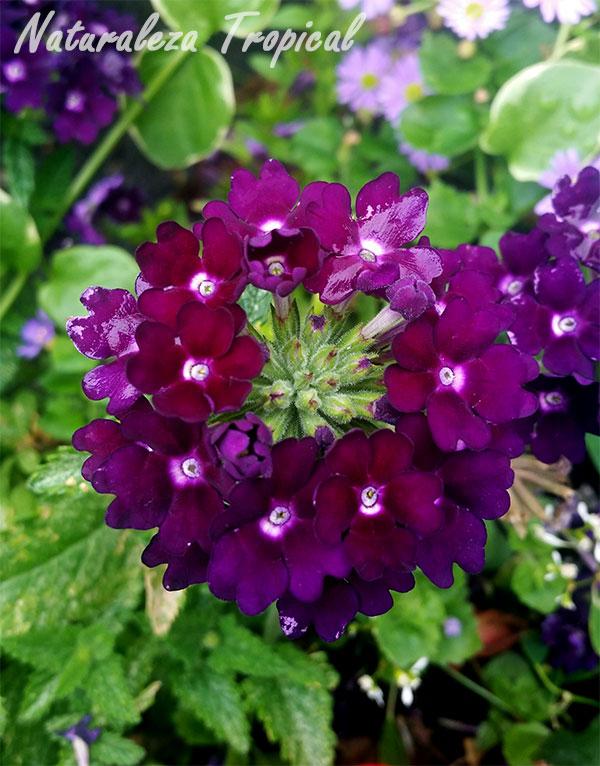 Variedad morada oscura de las flores de una verbena