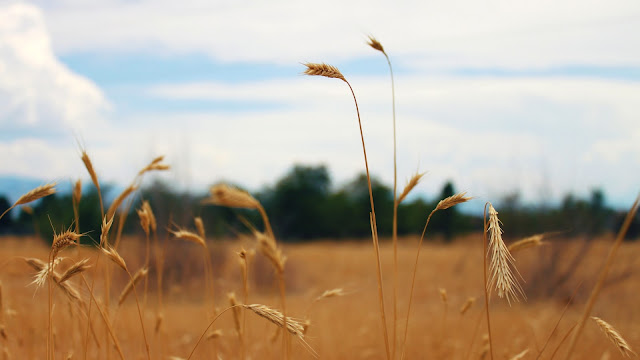 Golden Fields of Grass // www.thejoyblog.net