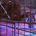 ΓΙΑ ΜΙΑ SELFIE! Δένουν τίγρη σε τραπέζι...
