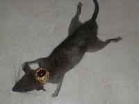 Heboh! Gempar Isu Tuyul, Warga Temukan Tikus Dengan Cincin Di Leher
