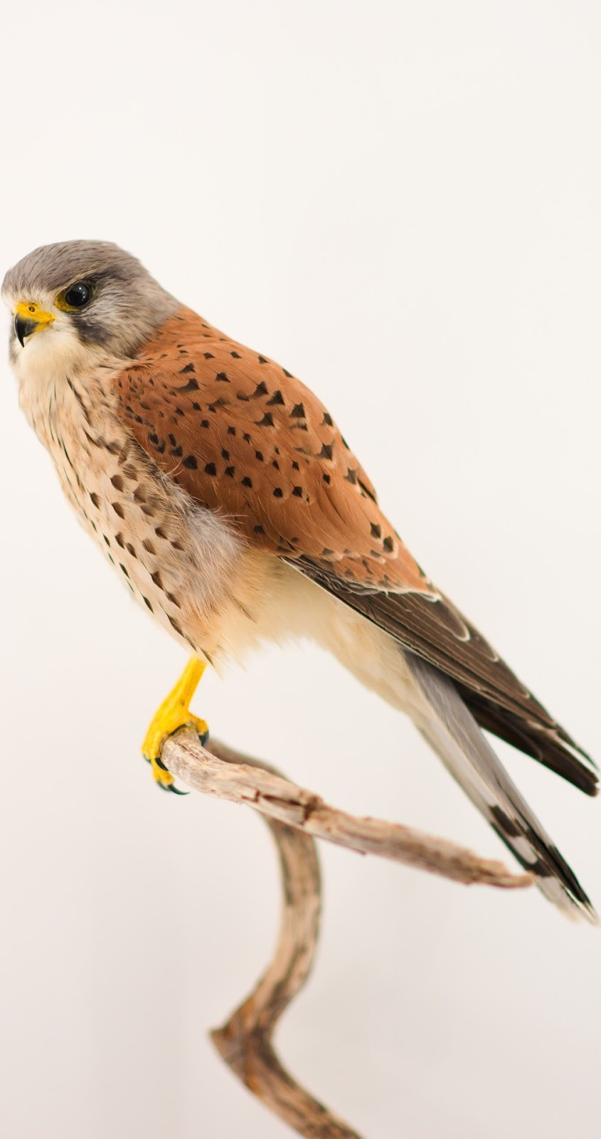 Picture of a kestrel bird.