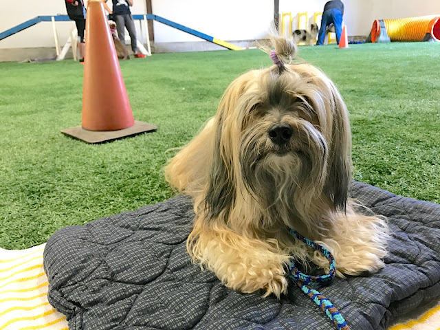 Control Unleashed class with Rocco Havanese