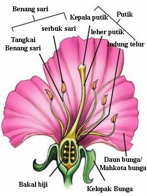 Tradisional Sehat Khasiat Bunga Kembang Sepatu Sebagai Obat