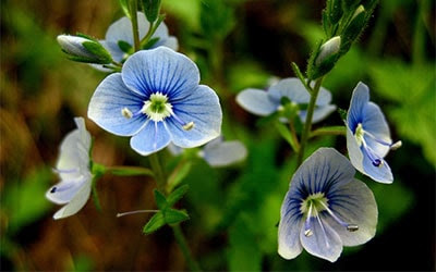 Common Speedwell contains glycosides, saponins, bitter substances, a little essential oil, organic acids, provitamin a, sugars, wax, etc.