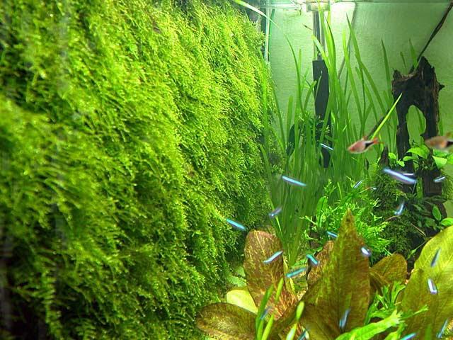 Live Aquarium Aquatic Plant For Fish Tank