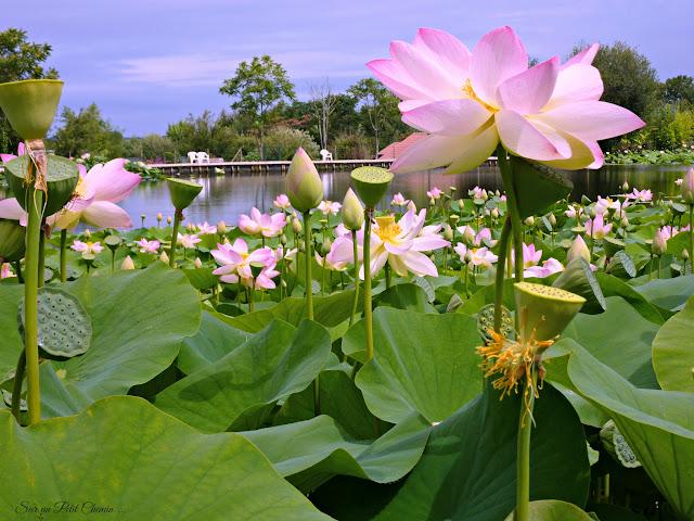 Lac de Lotus du Parc Floral et Tropical de la Court d'Aron - Saint Cyr en Talmondais
