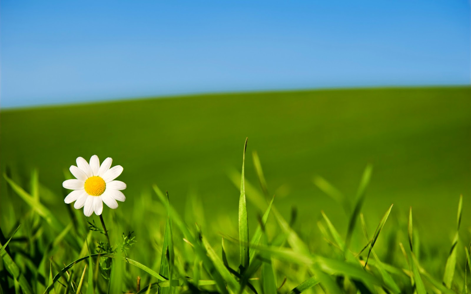 Field Of White Flowers Background