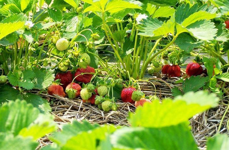 Giardinaggio laura ponte in valtellina coltivazione fragole for Fragole piante in vaso
