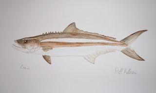 Cobia Painting, Pat Kellner, P. H. Kellner, Fishing Art, Fly Fishing Art, Texas Freshwater Fly Fishing, TFFF, Fly Fishing Texas, Texas Fly Fishing