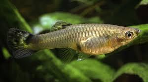 Menhaden Fish