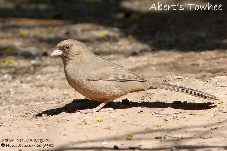 american emberizidae birds