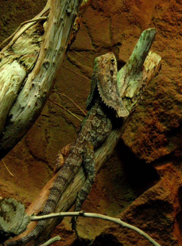 Frilled Dragon Care as Pets That Reptile Blog