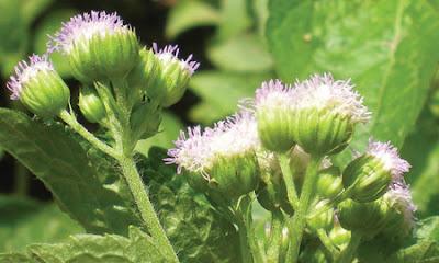Hoa ngũ sắc – Bài thuốc chữa viêm xoang hiệu quả