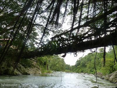 jembatan akar di pesisir selatan