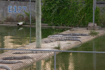 Morelet's crocodile (Crocodylus moreletii)
