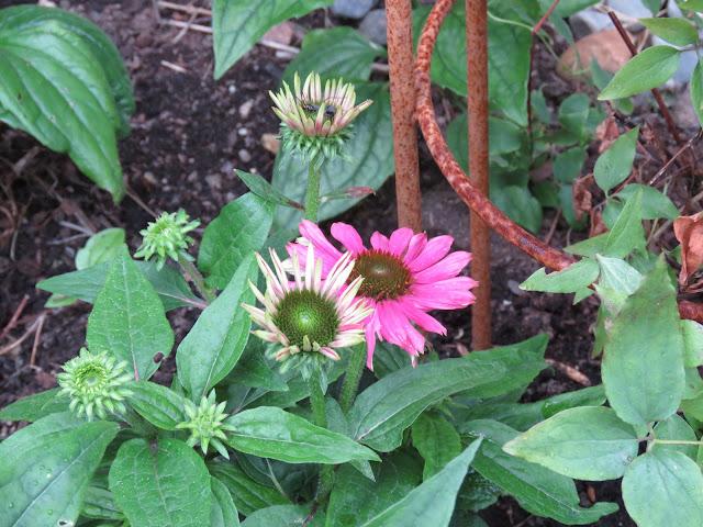 Tips til hagedesign. Nærbilde av purpursolhatt mot rust-klatrestativ i Furulunden