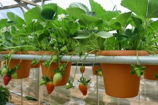 Hidroponik Strawberry
