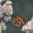 Penelopedia: Nature and Garden in Southern Minnesota: Monarch on the Joe-Pye Weed