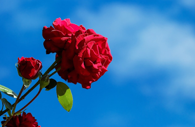 Cara Budidaya Bunga Mawar Di Kebun