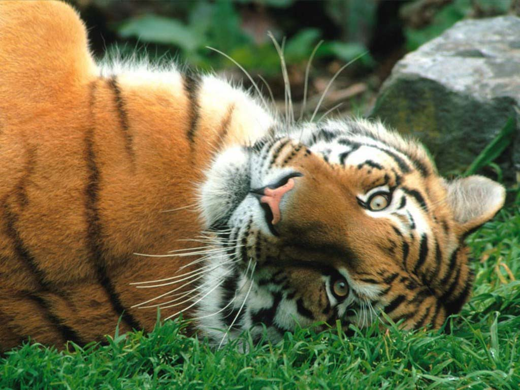 HD Wallpapers: Cute Tiger Pictures