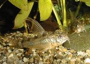 Jenis Ikan Corydoras paleatus