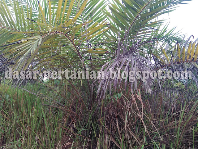 Budidaya kelapa sawit memang harus dilakukan dengan baik dan benar Beginilah Jadinya Jika Sawit Tidak Dirawat Dengan Baik