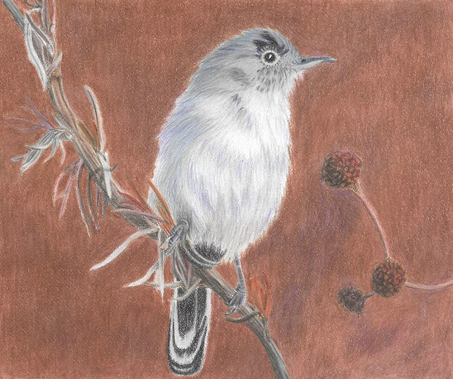 California Gnatcatcher in colored pencil
