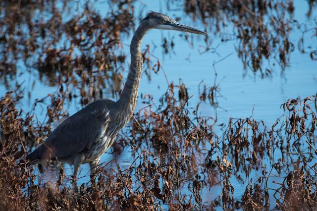 Great Blue Heron, Hagerman National Wildlife Refuge