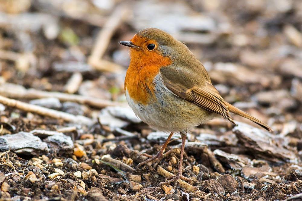 Confiding Robin, on the floor - Manor Farm, Milton Keynes