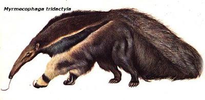 Oso hormiguero Yurumi Myrmecophaga tridactila