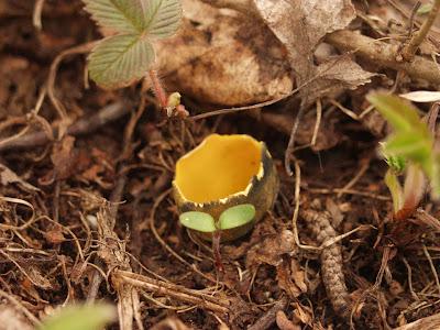 Caloscypha fulgens kielonka błyszcząca