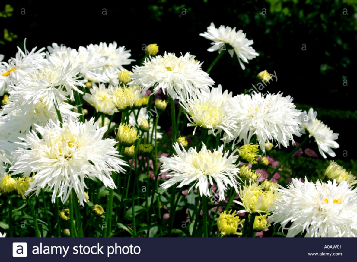 White Flowers Images And Names Wallpapers Sigi