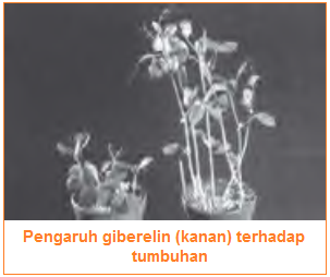 Pengaruh giberelin (kanan) terhadap tumbuhan