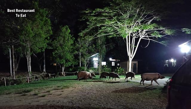 Myne Resort Bilit Sandakan Kinabatangan - Wild Boar