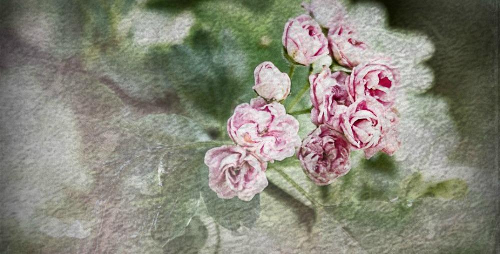 kukat, valokuvataide, valokuvaaminen, valokuvaaja, Frida Steiner, Visualaddict, valokuvaus, kukkakuva, ruusu, ruusut, natural, stillphotography, stillmoment, photoart, art