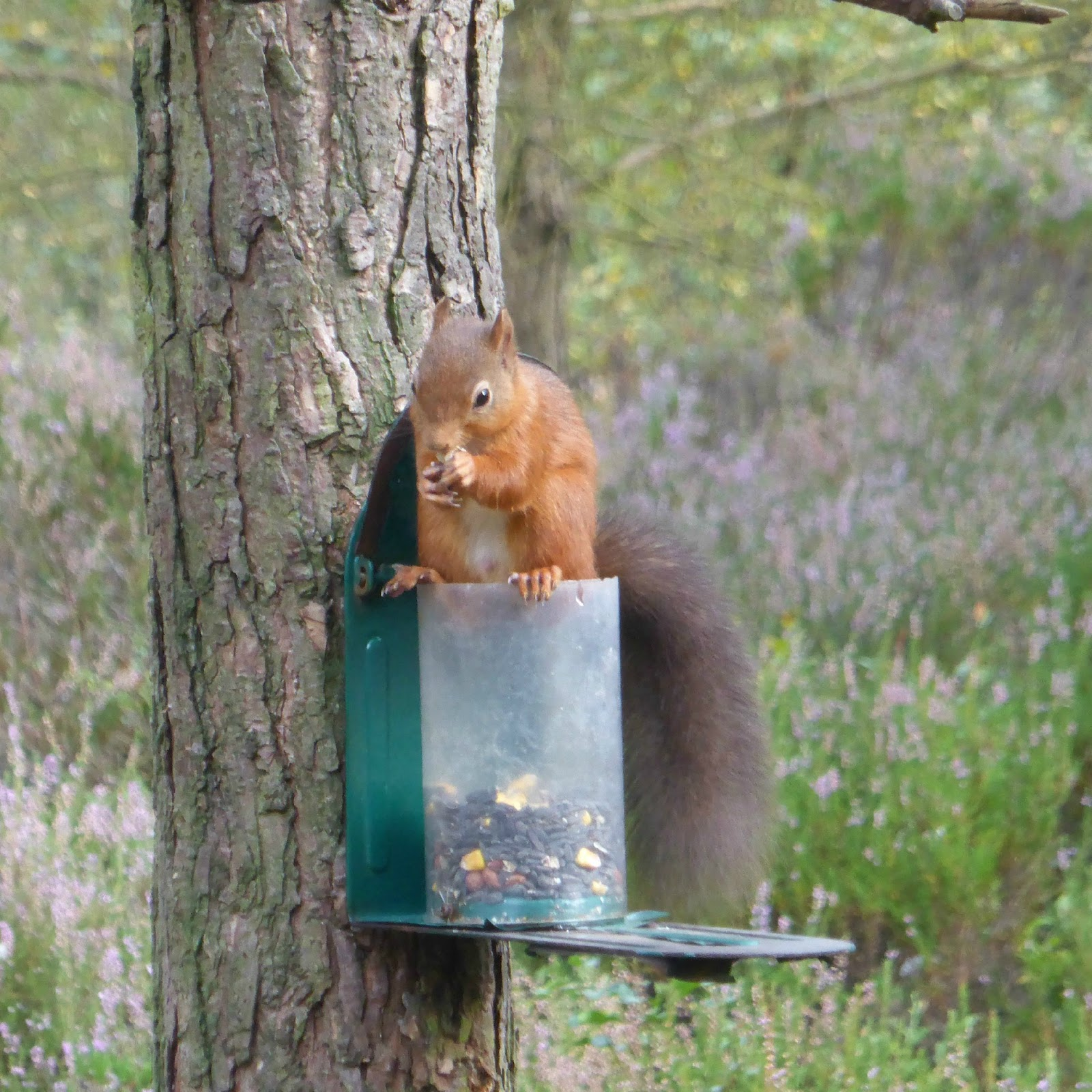 Autumn Days Out in the North East - Red Squirrels