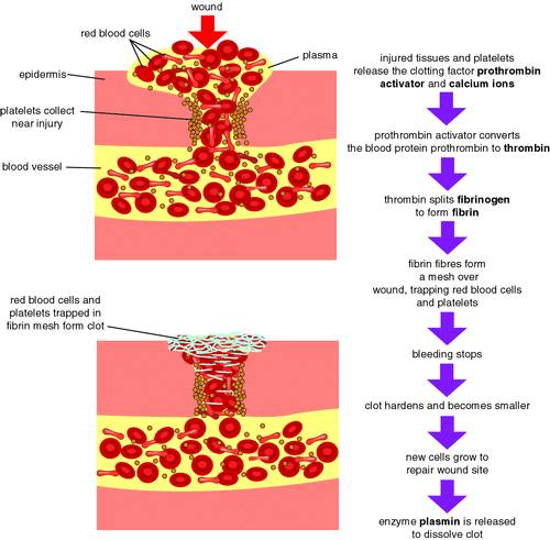 The reactions that affect the formation of blood clots