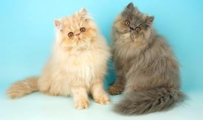 Persian Cat couple