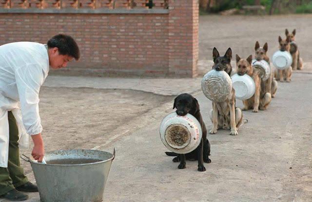 Perros policía de China hacen fila para recibir su comida