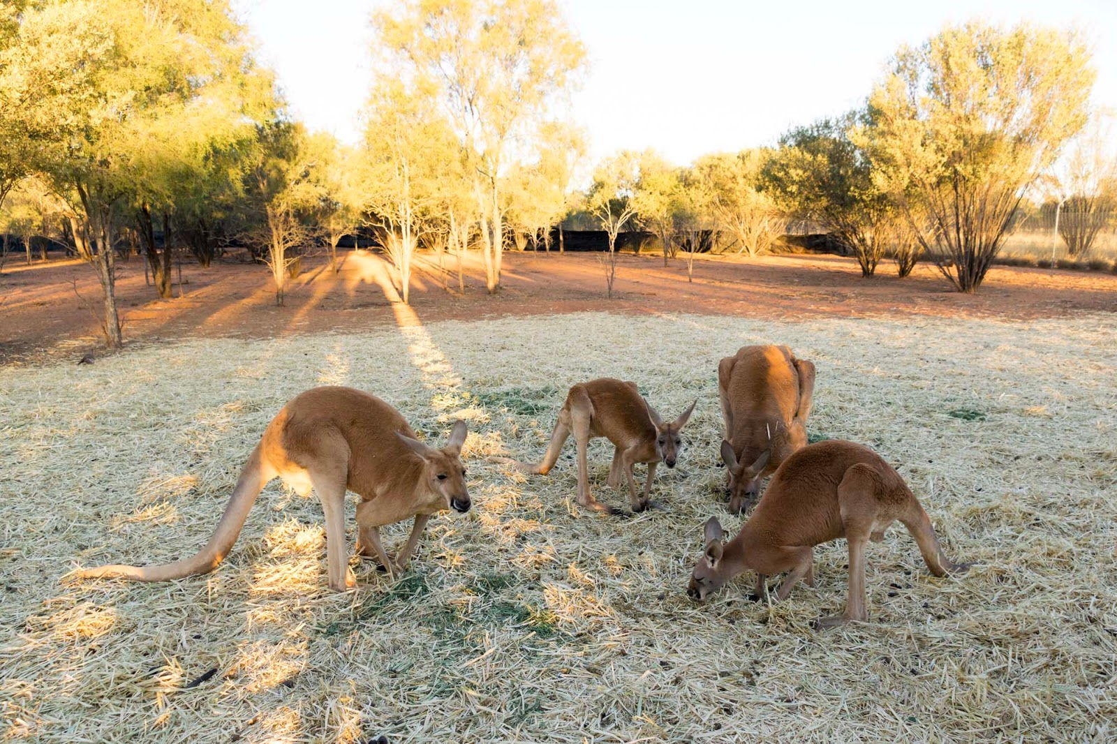the kangaroo sanctuary alice springs