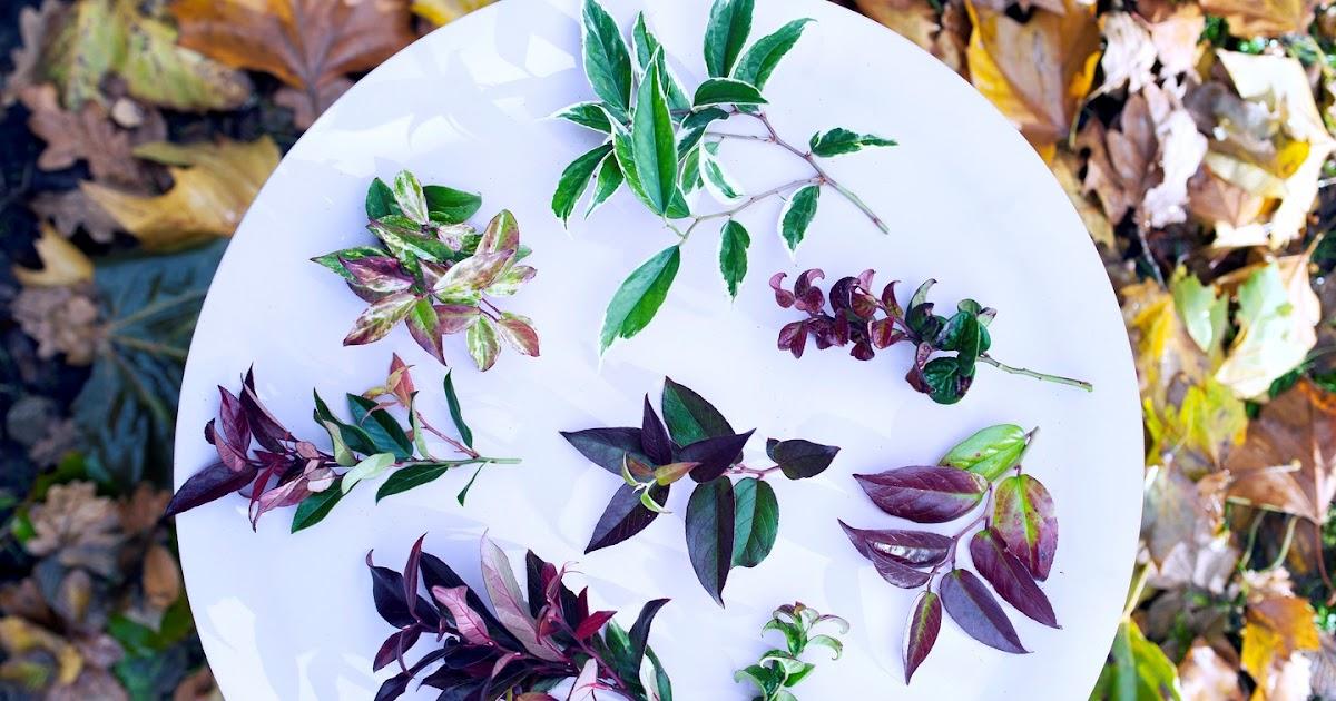Arbustos decorativos leucothoe for Arbustos decorativos