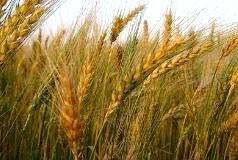 Trigo agricultura de Arequipa
