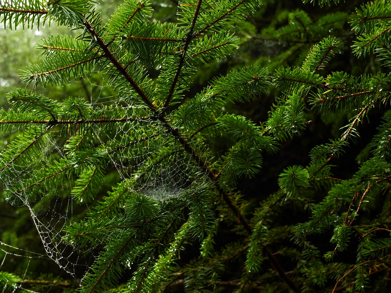 Spider webs gathered water droplets in conifer branches in the forest.