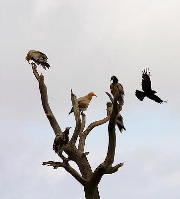 Grupo de alimoches en un árbol