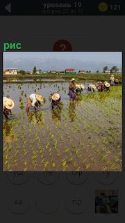 На полях находятся люди, которые в воде собирают рис