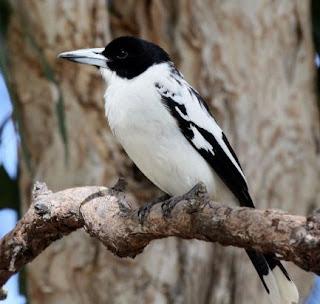 Burung Jagal Papua Mini atau Jagal Leher Putih