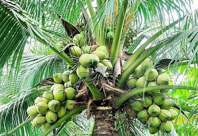 Coconut tree. PHOTO | FILE