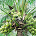 #Nyeri : 15 Million Coconut farming project to be piloted in Nyeri and later to other parts of Central region.