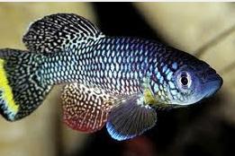 Ikan Hias Air Tawar Terindah sirip killfish