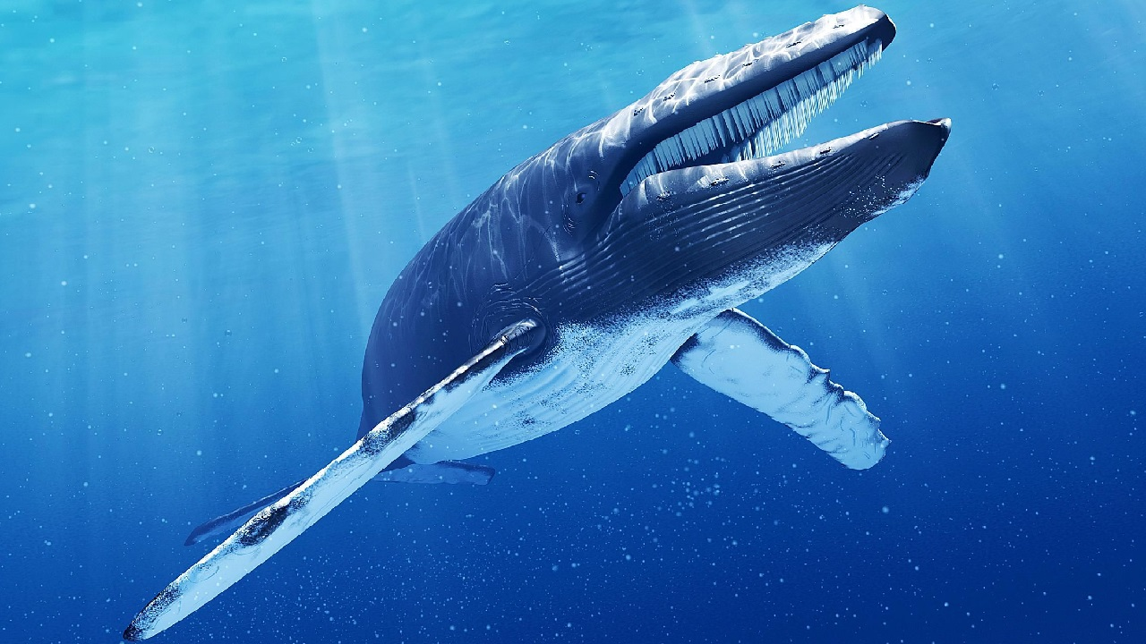 blue whale facts - 980×588